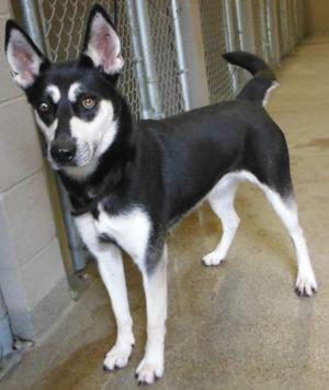 <p>This unnamed dog,ID No. 31959410, an adult female husky/shepherd mix, is available for adoption.</p>