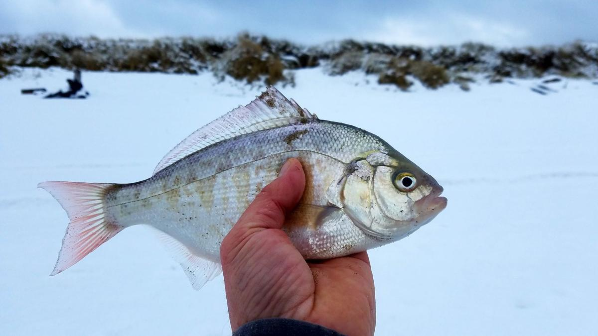 Coastal casts fishing for surf perch on snowy beach a for Surf perch fishing oregon