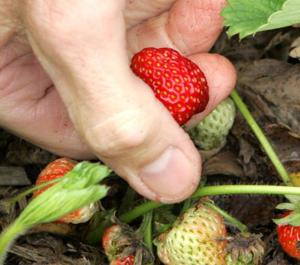 Get kids involved planting that strawberry patch
