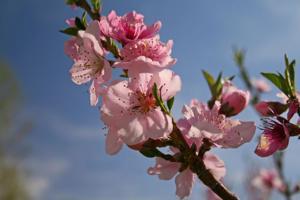 Apple blooms ready to pop in Nebraska City