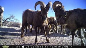 Bighorns: Pneumonia outbreaks have decimated some herds