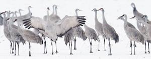 Film on sandhill cranes, which premiered Wednesday, packs a message