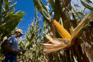 Corn acres expected to be most planted since 1936
