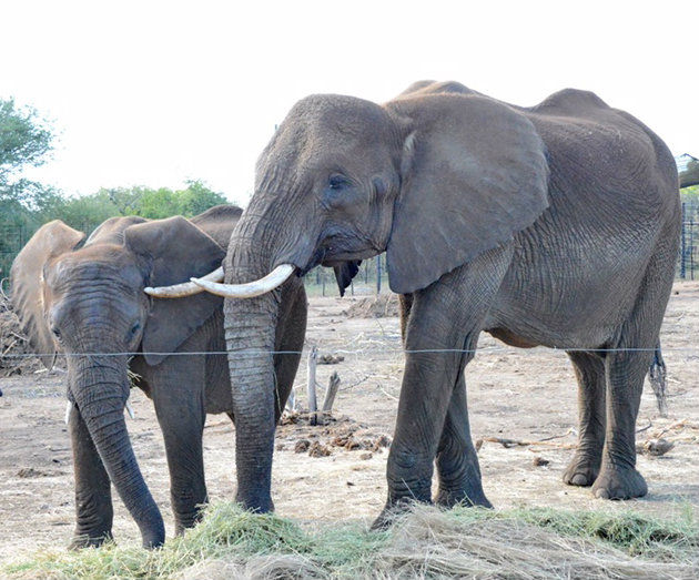 Swazi elephants coming to Omaha