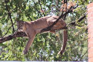 Stand down, hunters: mountain lion season on hold