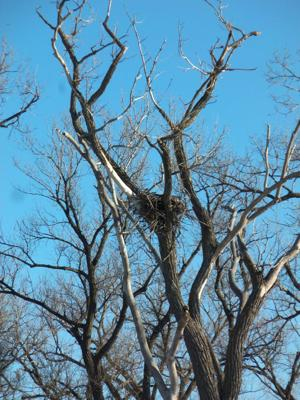 Keystone pipeline route near bald eagle nest ruffles feathers