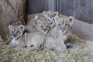 Your vote counts in naming the Omaha zoo's lion cubs