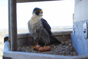 Another Peregrine Spring