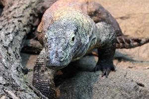 Komodo dragon dazzles in Henry Doorly Zoo debut