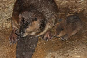 2 baby beavers exploring their home in Kingdoms of the Night swamp