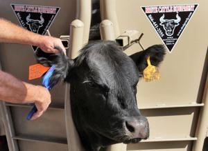 Cattle chutes a familiar site at Husker Harvest Days