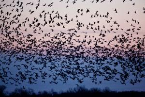 Like the cranes, volunteers flock to the Platte again and again
