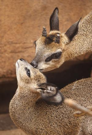 Baby klipspringer ready to do its dance for Omaha zoo audiences