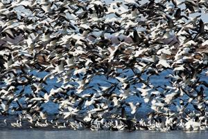 Migrating birds put on a show at 2 Missouri River Valley wildlife refuges