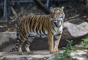 Omaha zoo tiger dies after being attacked by potential mate