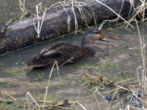 Fontenelle Forest documents first sighting of an American Black Duck
