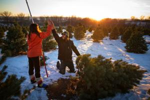 Pining for a Christmas tree? You'd better hurry
