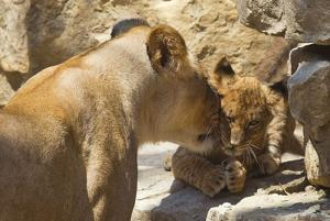 Omaha zoo's lion cubs venture outdoors