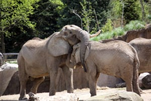 Omaha zoo's last elephant finds some old friends in Cleveland