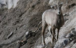 Bighorn sheep from Canada thrive in western Nebraska