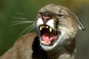 Cougar hunt persists, but Ernie Chambers vows to stay on the offensive