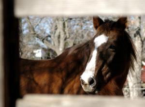 Old horse who gained fame for being evicted from town dies
