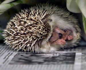 Your pet hedgehog can make you sick — or even kill you