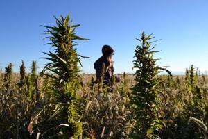 Idea of industrial hemp grows on Nebraska lawmakers