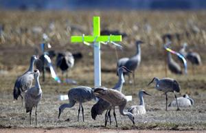 Hungry cranes unfazed by scare tactics, continue to tear up ballfield
