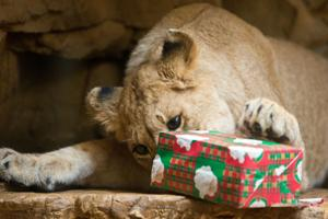 Henry Doorly Zoo & Aquarium celebrating lion cubs' first birthday