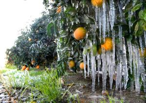 Amid cold snap, Californians fight to save crops