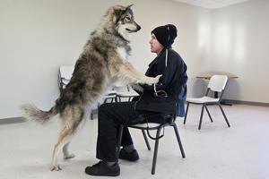 Nebraska wolf-dog boards cargo plane for California national forest