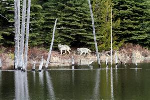 Debate brews over whether to save island's wolves