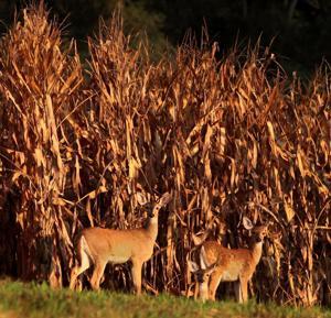 More deer meat could be headed to food pantries