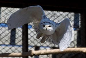 Ailing snowy owl found in Omaha has recuperated, heads north for a 2nd chance