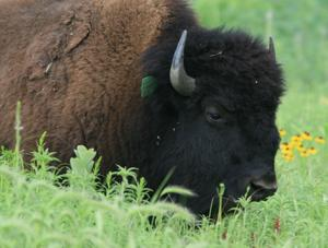 Big birds to mingle with bison herd again