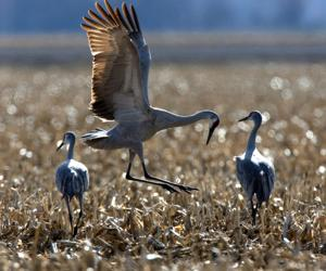 A list of places, times you can see Nebraska's Sandhill cranes