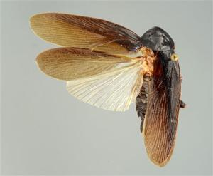 Invasive cockroach found in NYC can take the cold