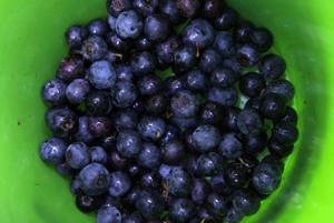Nancy's Almanac: Aug. 9, 2013: Bumper crop of blueberries