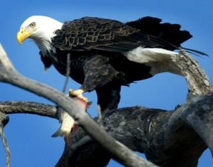 Number of recorded bald eagle nests holds steady after decades of increases