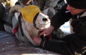Bighorns, elk get tracking collars in high-flying roundup via copter