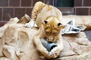 For Henry Doorly Zoo's 5 lion cubs, it's all play, eat, sleep, repeat