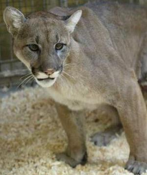 Report of mountain lion in Council Bluffs was just a cat