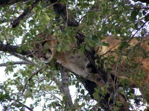 Mountain lion hunting will be allowed across most of Nebraska in 2014