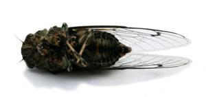 Yes, they're loud: Mild winter, 2 dry summers may be behind extra-noisy cicadas