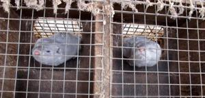 Animal rights activists up ante with mink raids — including one in Iowa