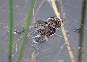 Omaha's Henry Doorly Zoo working to save endangered Wyoming toad