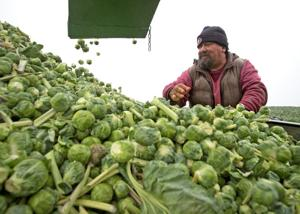 In Season: Brussels sprouts a fall and winter staple