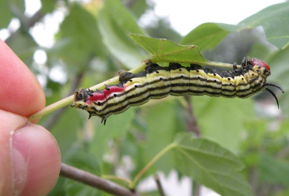 how to get rid of caterpillars in garden