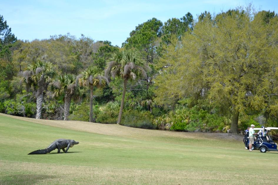 'It was literally a dinosaur.' Large alligator sneaks up on golfers at Kiawah Island golf course